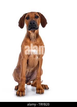 Cute wheaten Rhodesian Ridgeback puppy dog with dark muzzle, sitting up facing front. Looking at camera with sweet brown eyes. Isolated on white backg - Stock Photo