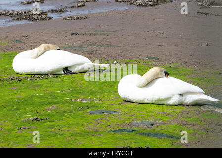 A Pair of Adult Mute Swans Sleeping on a Sandbank in Budle Bay in Lindisfarne National Nature Reserve near Bamburgh Northumberland England UK Stock Photo