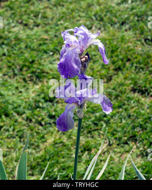 Iris pallida 'Argentea Variegata' - Stock Photo