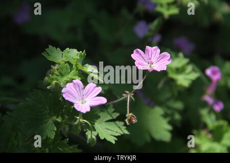 Malva flower, wild mallow flower with purple, violet and pink petals - Stock Photo