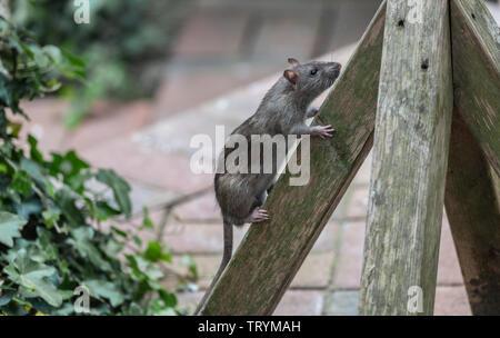 A Brown Rat, Rattus norvegicus, climbing up the base of a bird feeder. - Stock Photo