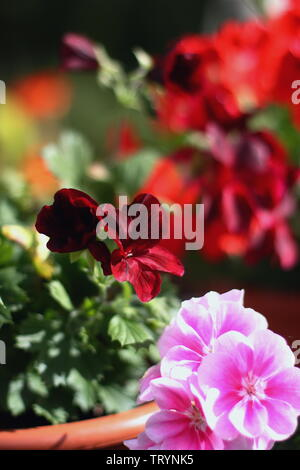 Beautiful pink and red geranium flower pots in the garden - Stock Photo