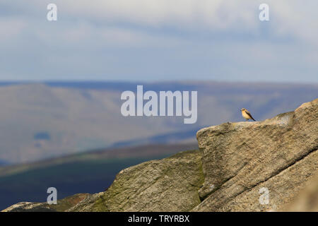 Northern Wheatear - Stanage Edge, Derbyshire - Stock Photo