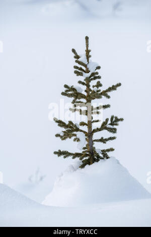 Snow-covered conifer trees in the depth of winter in the Canadian Rockies, Icefields Parkway - Stock Photo