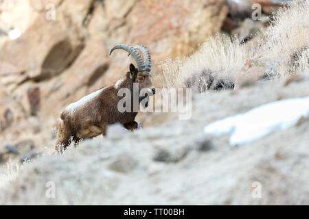 Himalayan Ibex or Capra sibirica hemalayanus in Ladakh Himalaya India during winter months - Stock Photo
