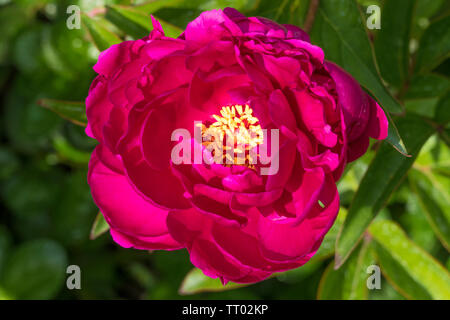 Closeup of a single pink peony flower in full bloom, with greenery behind. - Stock Photo
