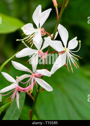 White flowers of the hardy, summer flowering perennial, Gaura lindheimeri 'Whirling Butterflies' - Stock Photo