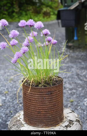 Allium schoenoprasum more commonly known as chives. They are an edible species of the genus Allium. Their close relatives include the garlic, shallot, - Stock Photo