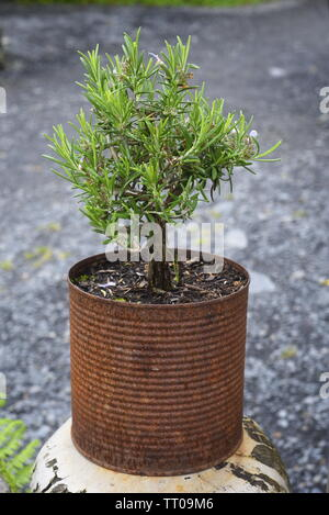 Rosmarinus officinalis, commonly known as rosemary, is a woody, perennial herb with fragrant, evergreen, needle-like leaves and white, pink, purple, o - Stock Photo