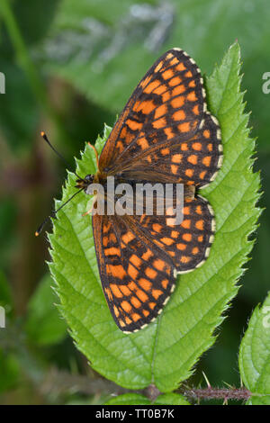 Heath Fritillary, Melitaea Athalia, in an Essex Wood, England. A very rare species taken back from the brink of extinction by Butterfly Conservation. - Stock Photo