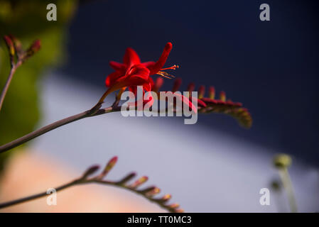 red crocosmia spike flower - Stock Photo