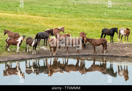 North America; United States; Montana; Ranching; Ranch Animals; Horses and Mules. - Stock Photo