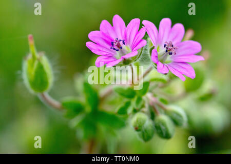 Dove's-foot Cranesbill (geranium molle), close up of a couple of flowers with buds and developing seed head. - Stock Photo