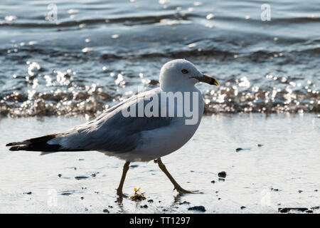 A large and very clean seagull is walking on the sand at a beach with sunlight shimmering off of the water on an early August morning in Maine. - Stock Photo