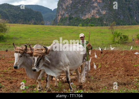 Farmer with an ox-drawn wooden plough working in the verdant fields of the Vinales Valley, Vinales, Pinar del Rio Province,Cuba, Caribbean - Stock Photo
