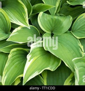 Hosta plant with green leaves texture background in rainy day, plants in a garden with raindrops - Stock Photo