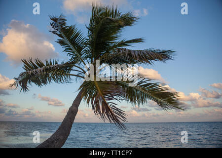 A palm tree grows on a remote island in the Caribbean Sea off the coast of Belize. This area is part of the Mesoamerican Barrier Reef. - Stock Photo
