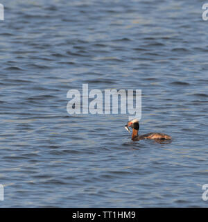 Slovenian Grebe, Podiceps auritus, with a just caught small fish - Stock Photo