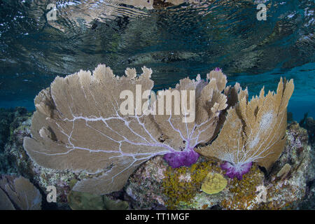 A beautiful and shallow gorgonian grows in the Caribbean Sea off the coast of Belize. This area is part of the Mesoamerican Barrier Reef. - Stock Photo