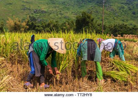 Unrecognisable women harvesting rice field in Quan Ba District  part of the UNESCO Global Geoparks Network Dong Van Karst, in Ha Giang, Vietnam. - Stock Photo