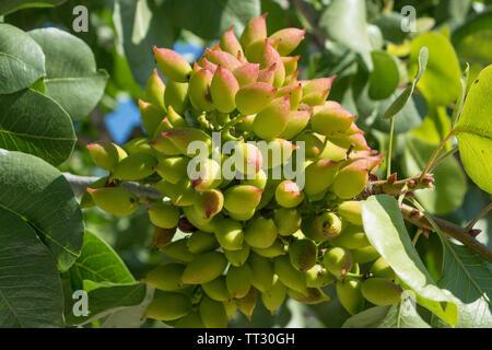 Pistachio nuts on tree - Stock Photo