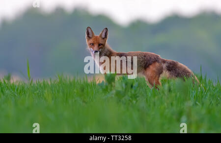 Red Fox standing amidst a green summer field at sunset before hunting hours - Stock Photo