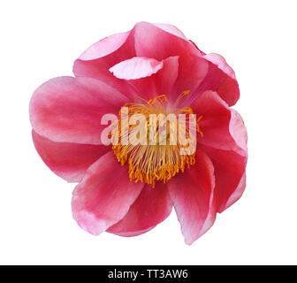Top view of red peony flower isolated on white