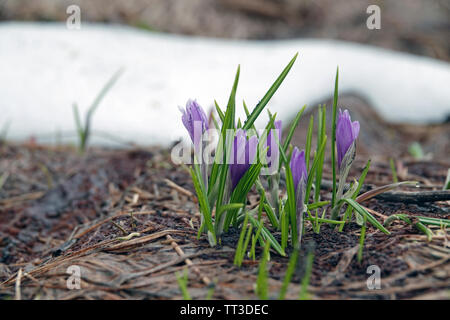beautiful crocuses in spring on the mountains - Stock Photo