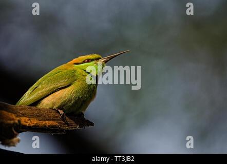 Green Bee Eater perching on a tree branch and the portrait created a beautiful bokeh - Stock Photo