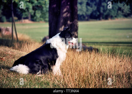 A black and white border collie sitting in a field looking away - Stock Photo