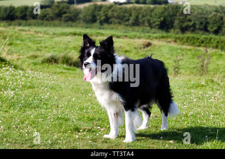 A black and white border collie in a meadow - Stock Photo