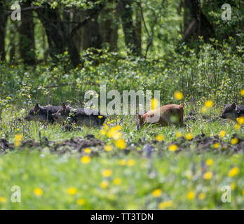 Pigs grazing in a meadow. - Stock Photo