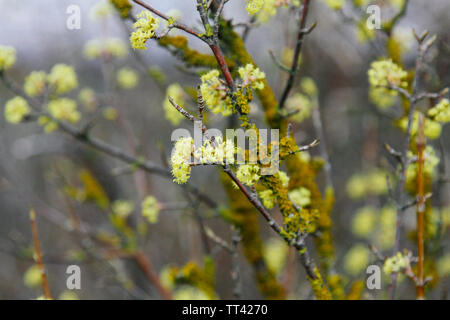 Beautiful twig with bright yellow flowers on blurred natural green background. Soft selective macro focus cornelian cherry blossom - Stock Photo