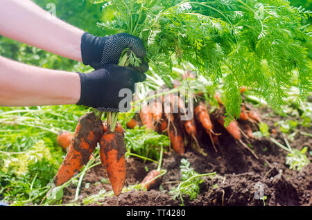 Carrot in the hands of a farmer. Harvesting. Growing organic vegetables. Freshly harvested carrots. Summer harvest. Agriculture. Seasonal job. Farming - Stock Photo