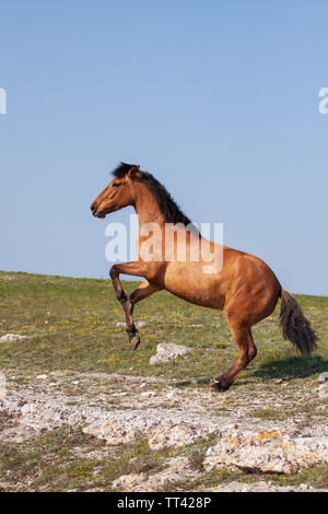 Beautiful young red horse rearing up at sunny day in summer - Stock Photo