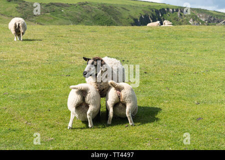Two large lambs suckling from mother sheep (ewe) at Mwnt Bay, Ceredigion, Wales - Stock Photo