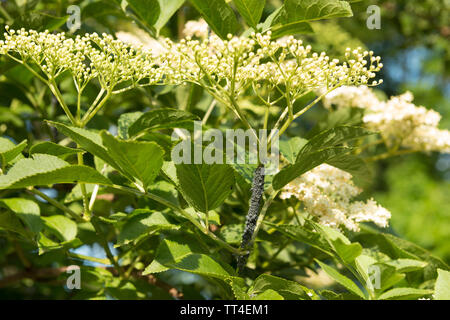 Black aphid coated stem tip to flower heads of elder flower, sucking sap from tender tissue, a pest that can spread to whole garden, Sambucus nigra - Stock Photo
