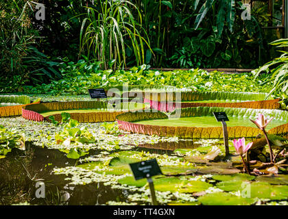 Victoria Longwood Hybrid Waterlilies in the Plants & People House at the Royal Botanic Garden, Edinburgh, Scotland. - Stock Photo