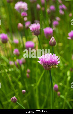 The lilac flowers of a blossoming perennial chive plant, Allium Schoenoprasum - Stock Photo