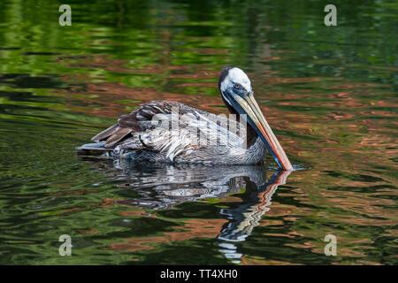 Peruvian pelican / Humboldt brown pelican (Pelecanus thagus) swimming in lake, native to Chile and Peru - Stock Photo