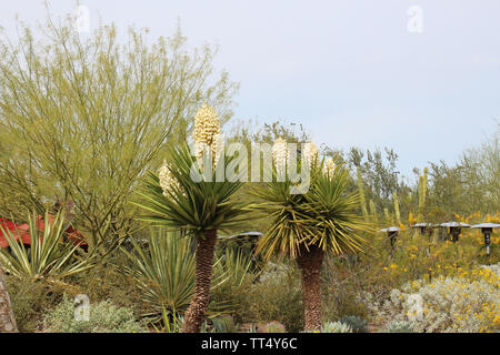 A desert landscape featuring profusely flowering Mojave Yucca plants, aloe, Desert Marigolds, and a Palo Verde Tree in Arizona, USA - Stock Photo
