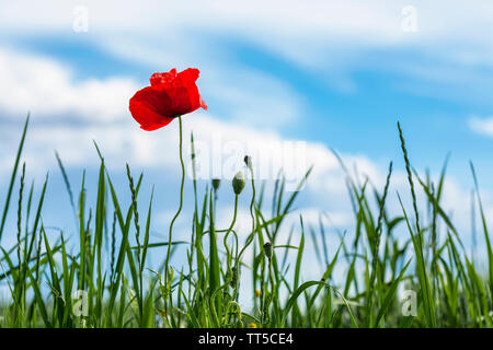 Poppy in a meadow on a sunny, spring day - Stock Photo