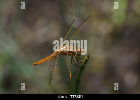 Large Broad Scarlet Dragonfly (Crocothemis erythraea) On Horsetail Grass - Stock Photo