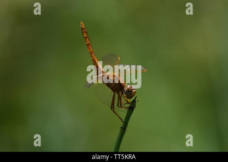Broad Scarlet Dragonfly (Crocothemis erythraea) Perched Tail Up Looking - Stock Photo