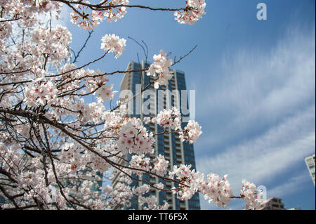 View through Cherry Blossom  Trees to City buildings and blue sky background, Ueno Park, Tokyo, Japan - Stock Photo