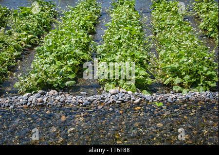 Fresh green Wasabi (Japanese Horseradish) plants growing in clear mountain river water. - Stock Photo