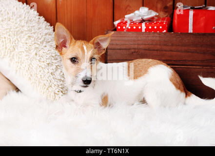 Funny little dog Jack Russell terrier on carpet at home - Stock Photo