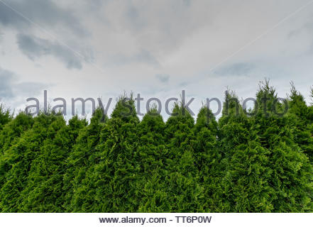 close up of a healthy green thuja hedge under an expressive blue and cloudy sky with copy space - Stock Photo