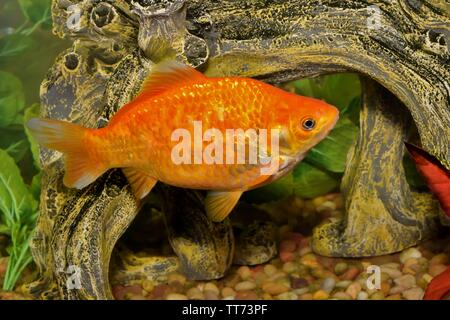 Bright orange Koi Goldfish (Carassius auratus) swimming in a decorated aquarium tank. - Stock Photo