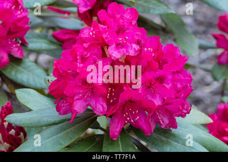 Purple Rhododendron Nova Zembla - Stock Photo
